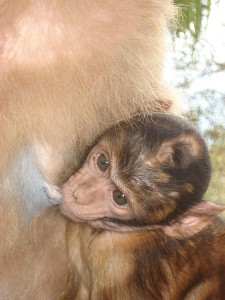 450px-Barbary_Macaque_baby