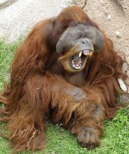502px-Male_Orangutan