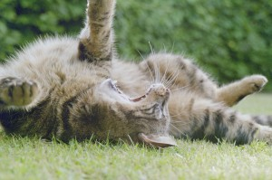 800px-Cat_stretching_out